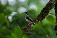 Blyth`s Shrike-babbler on tree royalty free stock photo