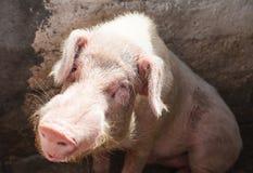 blythe Большая свинья сидя в ручке на ферме стоковые изображения rf