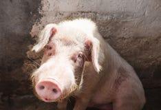 blythe Большая свинья сидя в ручке на ферме стоковые фотографии rf