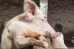 blythe Stort svinsammanträde i en penna på lantgården royaltyfria foton