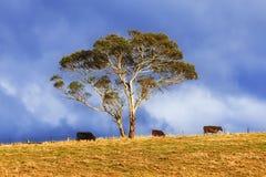 BM Coxs 3 koeienboom stock foto's