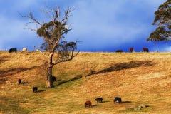 BM Coxs wzgórza krów światło Zdjęcie Royalty Free