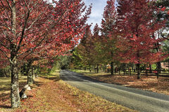 BM Mt Wilson road red trees. Lines of red foliate maple trees along tarmac road at autumn. Mt Wilson spectacular leaves fall season high in blue mountains of Stock Photos