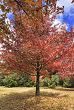 BM Mt Wilson Single red tree vert. Red bright foliate tree in autumnal colours and garden on a sunny day. Mt Wilson reserve in Blue Mountains growth foliate Stock Photography