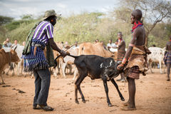 BMen που προετοιμάζει τους ταύρους για την πηδώντας τελετή ταύρων, Αιθιοπία Στοκ φωτογραφία με δικαίωμα ελεύθερης χρήσης