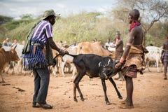 BMen som förbereder tjurar för tjurbanhoppningceremonin, Etiopien royaltyfri fotografi