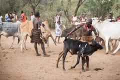 BMen som förbereder tjurar för tjurbanhoppningceremonin, Etiopien fotografering för bildbyråer