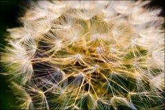 Bmotion do sopro do dente-de-leão das flores que abate a flor no fundo da flor e os papéis de parede em cópias de alta qualidade  fotografia de stock