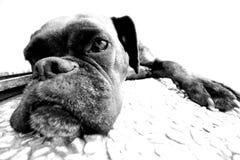 Bn del cane Fotografia Stock Libera da Diritti