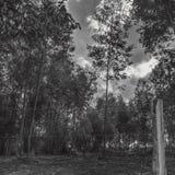 Bnw zimy las tropikalny! Zdjęcia Royalty Free