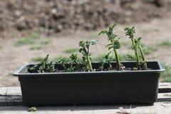 Boîte de jeunes plantes de pomme de terre Photo stock