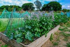 Boîte de planteur avec la culture de légumes dans l'attribution Photographie stock