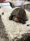 Boîte femelle Turtle& x27 de bébé ; s visitent d'abord au vétérinaire Photographie stock