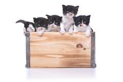 Boîte mignonne de chatons pour l'adoption Image stock