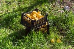 Boîtes avec des citrons sur l'herbe Images libres de droits