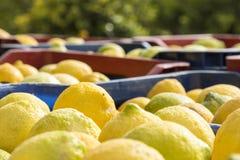 Boîtes complètement de citrons fraîchement sélectionnés de Sicile Photographie stock