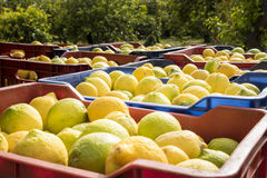 Boîtes de citrons fraîchement sélectionnés de Sicile Photographie stock