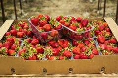 Boîtes de fraises sur le marché d'agriculteur Caisses complètement de Fragaria Photos libres de droits