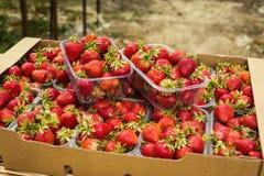 Boîtes de fraises sur le marché d'agriculteur Caisses complètement de Fragaria Images stock