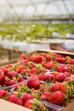 Boîtes de fraises sur le marché d'agriculteur Caisses complètement de Fragaria Image libre de droits