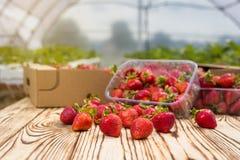 Boîtes de fraises sur le marché d'agriculteur Caisses complètement de Fragaria Image stock