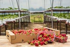 Boîtes de fraises sur le marché d'agriculteur Caisses complètement de Fragaria Photographie stock