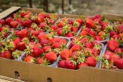Boîtes de fraises sur le marché d'agriculteur Caisses complètement de Fragaria Photos stock