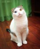 Boże Narodzenia - Mały kot z różnym oko kolorem Zdjęcia Royalty Free