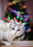 Boże Narodzenia obrazują z białym kotem kolorowymi światłami i Zdjęcia Royalty Free