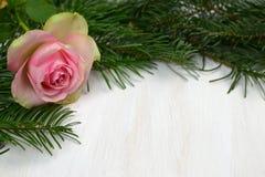 Boże Narodzenia wzrastali na białym tle zdjęcie stock