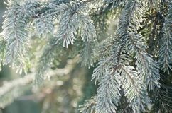 Boże Narodzenia, zimy tło z mroźną sosną Sezonowy tło dla kartka z pozdrowieniami lub Plakatowego projekta zdjęcia royalty free