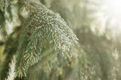 Boże Narodzenia, zimy tło z mroźną sosną Sezonowy tło dla kartka z pozdrowieniami lub Plakatowego projekta fotografia stock
