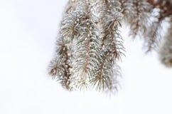 Boże Narodzenia, zimy tło z mroźną sosną Sezonowy tło dla kartka z pozdrowieniami lub Plakatowego projekta obraz stock