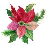 Boże Narodzenie rośliny poinsecji akwareli guaszu kolorowy różowy gree ilustracji