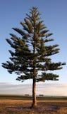 boże narodzenie sunrise drzewo Zdjęcie Stock