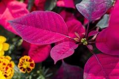 Bożenarodzeniowa poinseci roślina, poinsecja liścia zakończenie up Zdjęcia Stock