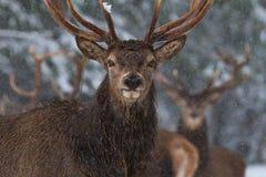 Bożenarodzeniowa przyrody opowieść Portret Osamotniony jeleń pod spada płatkami śniegu Wielcy Dorosli Czerwoni rogacze Z Ostrożny zdjęcia royalty free