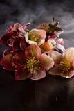 Bożenarodzeniowe róże ciemiernik, helleborus purpurascens (,) zdjęcie stock