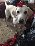 Bożenarodzeniowej teraźniejszości pies Obrazy Royalty Free