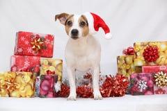 Bożenarodzeniowy Jack Russell terier z prezentami Fotografia Stock