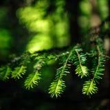 Bożenarodzeniowy jedlinowego drzewa defocused widok obrazy stock