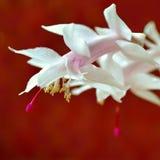 Bożenarodzeniowy kaktus Zdjęcia Royalty Free