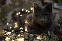 Bożenarodzeniowy kot, makro- zbliżenie sztuki pięknej kamery oczu mody pełne splendoru zieleni klucza wargi target1847_0_ depresj Obrazy Royalty Free