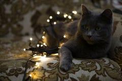 Bożenarodzeniowy kot, makro- zbliżenie sztuki pięknej kamery oczu mody pełne splendoru zieleni klucza wargi target1847_0_ depresj Fotografia Royalty Free