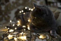 Bożenarodzeniowy kot, makro- zbliżenie sztuki pięknej kamery oczu mody pełne splendoru zieleni klucza wargi target1847_0_ depresj Zdjęcia Royalty Free