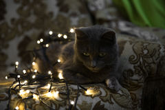 Bożenarodzeniowy kot, makro- zbliżenie sztuki pięknej kamery oczu mody pełne splendoru zieleni klucza wargi target1847_0_ depresj Obrazy Stock