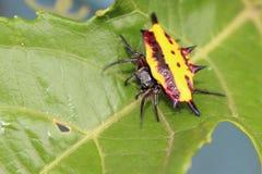 Bożenarodzeniowy pająk Obraz Royalty Free