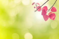 Bo выходит пинк весной или красивые листья в запачканную природу o Стоковое Изображение