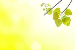 Bo выходят зеленые листья весной или красивое в запачканный Стоковая Фотография RF