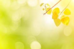 Bo выходят листовые золота весной или красивое в запачканную природу Стоковое Изображение RF